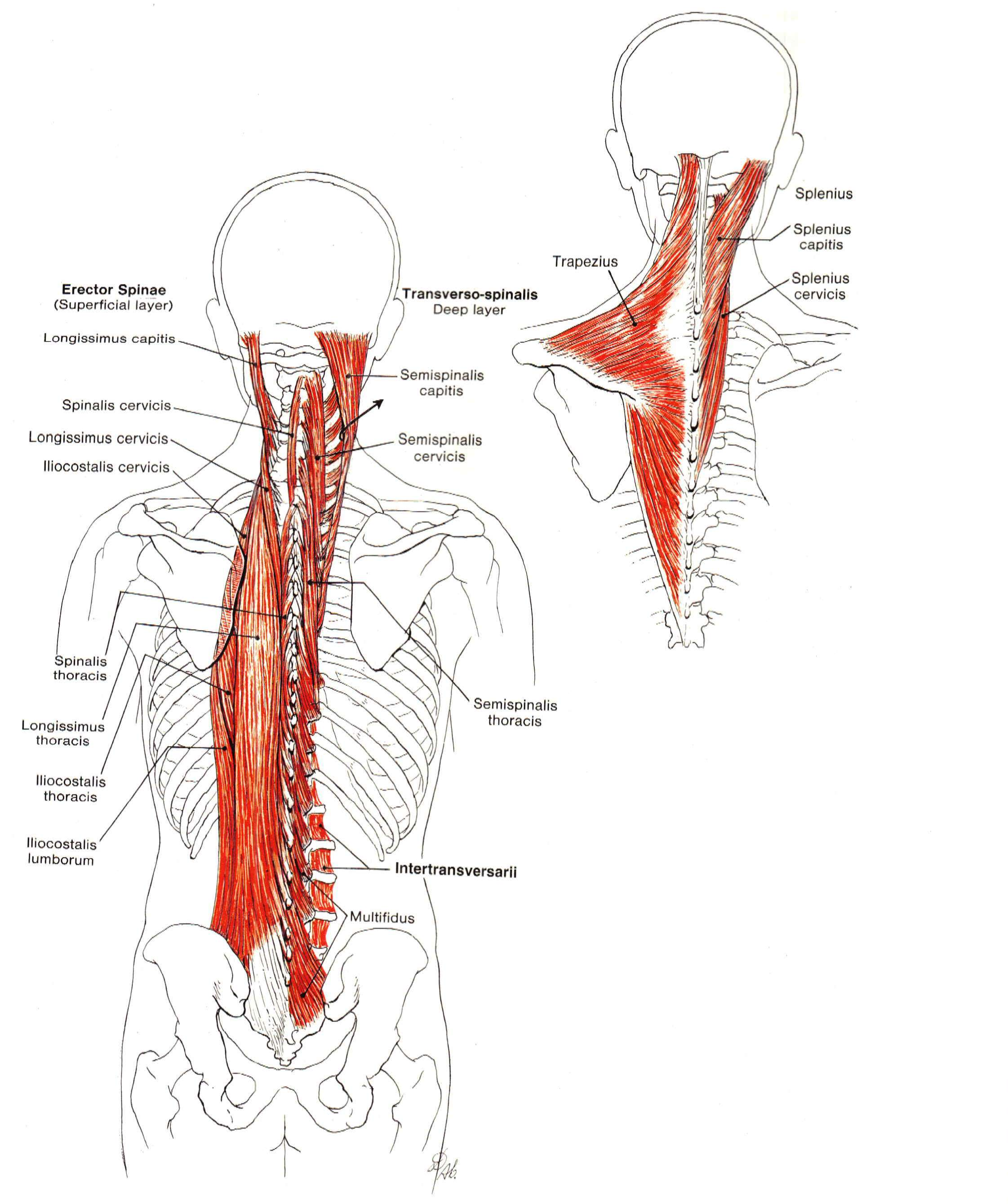THE NECK AND BACK EXTENSORS | The Core Matrix